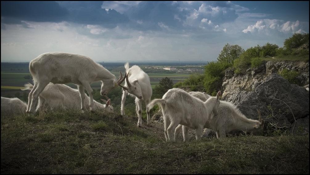 Pastva na Devínskej Kobyle, foto BROZ